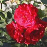 Розы :: Александр Яковлев