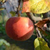 Наливное яблочко. :: zoja