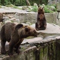 медведи в зоопарке :: elena manas