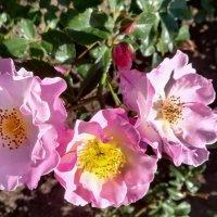 Розовые розы :: veera (veerra)