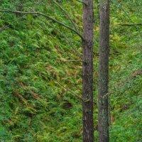 Два дерева в овраге. :: Serge Lazareff