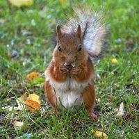 Белка в парке том  живет да орешки все грызет :: Наталья Димова