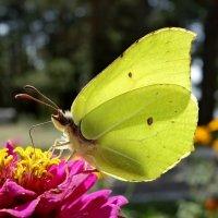 Бабочка Лимонница под солнцем. :: Валентина Гундарева