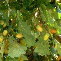 Желуди дуба в сентябре :: Наиля