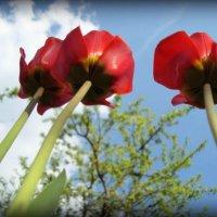 Тюльпаны :: Евгения Х