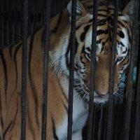 Тигр в клетке :: Aleks Filhok