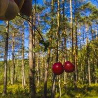 Клюква развесистая,две штуки :: Сергей Цветков
