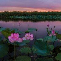 Лотосы цвета летней зари :: Фёдор. Лашков