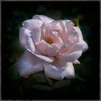 Роза. :: Александр
