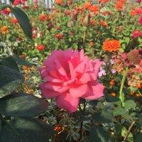 Розовая осень :: minchanka