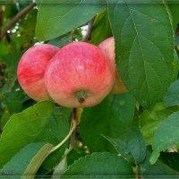 Яблоки лесные :: °•●Елена●•° ♀