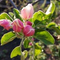 яблоневый цвет :: dila *