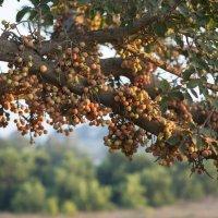Плоды дерева Сикомор. :: Александр Григорьев