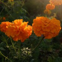 Расцветает осень буйством бархатцев - Словно солнце на землю сошло. :: Люба