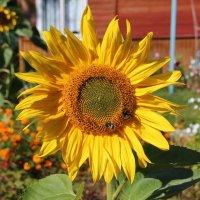Трудятся пчёлки, нектар собирая. :: Галина .