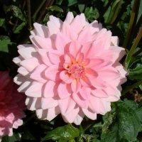 Нежно-розовый цветок :: Татьяна Георгиевна
