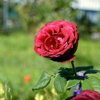 Роза :: Mikhail Irtyshskiy