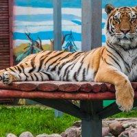 Тигр. :: Макс Беккер