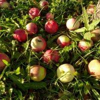 Яблочное изобилие этого года. :: Людмила Грибоедова