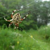Мраморный паук :: АННА
