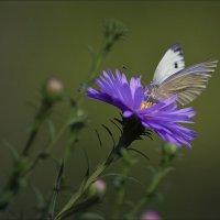 Последние бабочки... :: Андрей Медведев