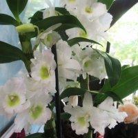 Белые цветочки :: Лариса