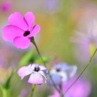 Розовая нежность :: Татьяна Соловьева