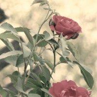 Розы :: Полиша Баринова