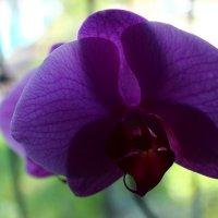 Розовая орхидея :: Юлия Беспечная