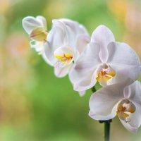 орхидея1 :: Ксения Калачева