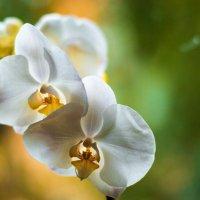орхидея2 :: Ксения Калачева