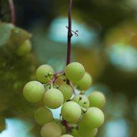 Зрелый плод :: St. Rezkiy