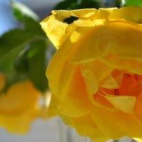 чайная роза :: Елена Шмойлова