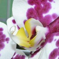 орхидея :: Елена Шмойлова