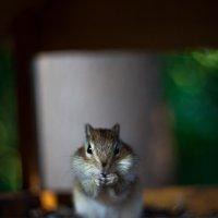 полосатый лесной хомяк=) :: Антон Лихач
