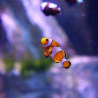 Рыбка клоун :: Kseniya Batsian