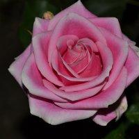 Роза :: Александра Юшенко