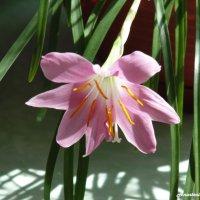 Цветок :: Anastasia Gubanova