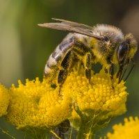 Пчелка. :: Igor Yakovlev