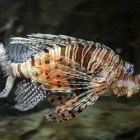 Полосатая крылатка, или рыба-зебра :: Евгений Васильев