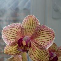 Орхидея :: Сергей Гаина