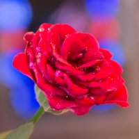 роза :: Наталья Василькова