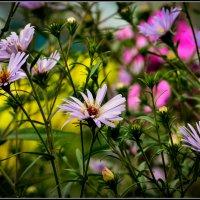Клумбовые цветочки :: Василий Хорошев