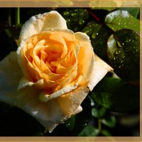Роза в росе :: Яков Геллер