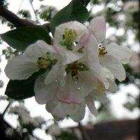 Яблоневый цвет :: Елена Ваулина
