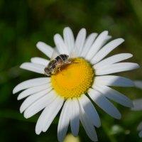 один день мз жизни пчелки :: Екатерина Валерьевна