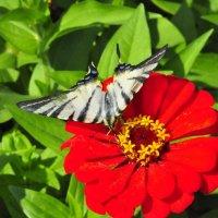 бабочка :: маша остапенко
