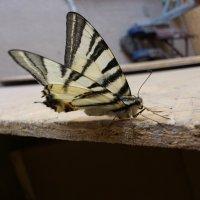 бабочка :: Виктор Николенко