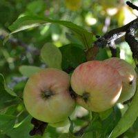 яблочки :: Мария Павлова