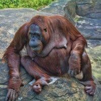Орангутанг внимательный :: Виктор Филиппов